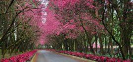 河津桜祭りの開催について